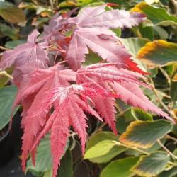 Acer palmatum 'Okagami' - spring leaves