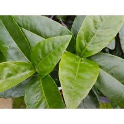 Aucuba japonica 'Leucocarpa'