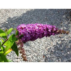 Buddleja 'Purple Splendour'
