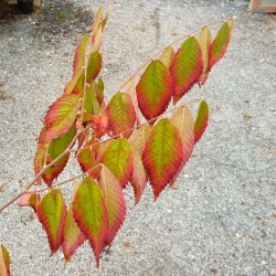 Zelkova serrata 'Burgundy Fall'