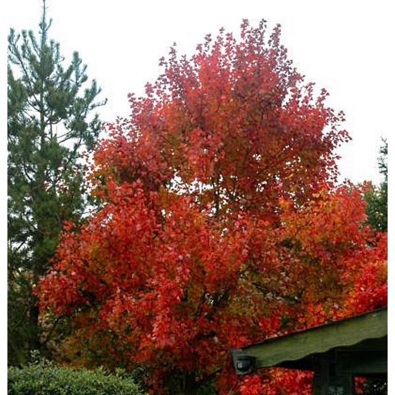 Acer rubrum 'October Glory' - autumn colour