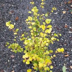 Betula nana 'Golden Treasure'