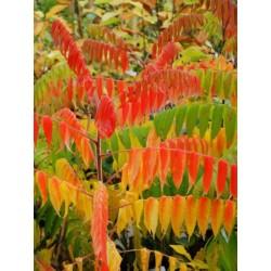 Rhus typhina 'Radiance' - autumn colour