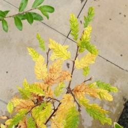 Carpinus betulus 'Quercifolia'