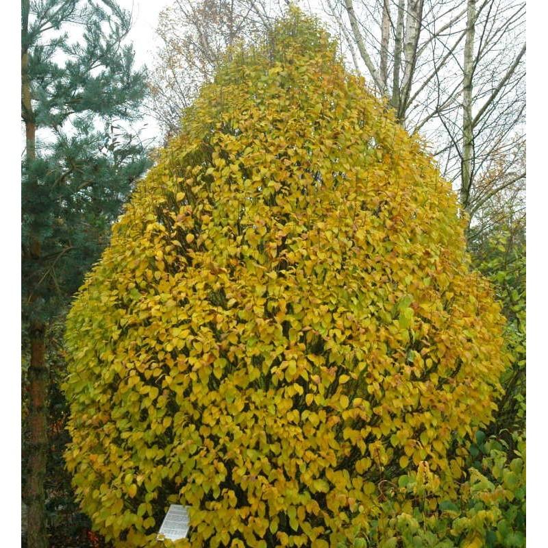 Carpinus betulus 'Globus'