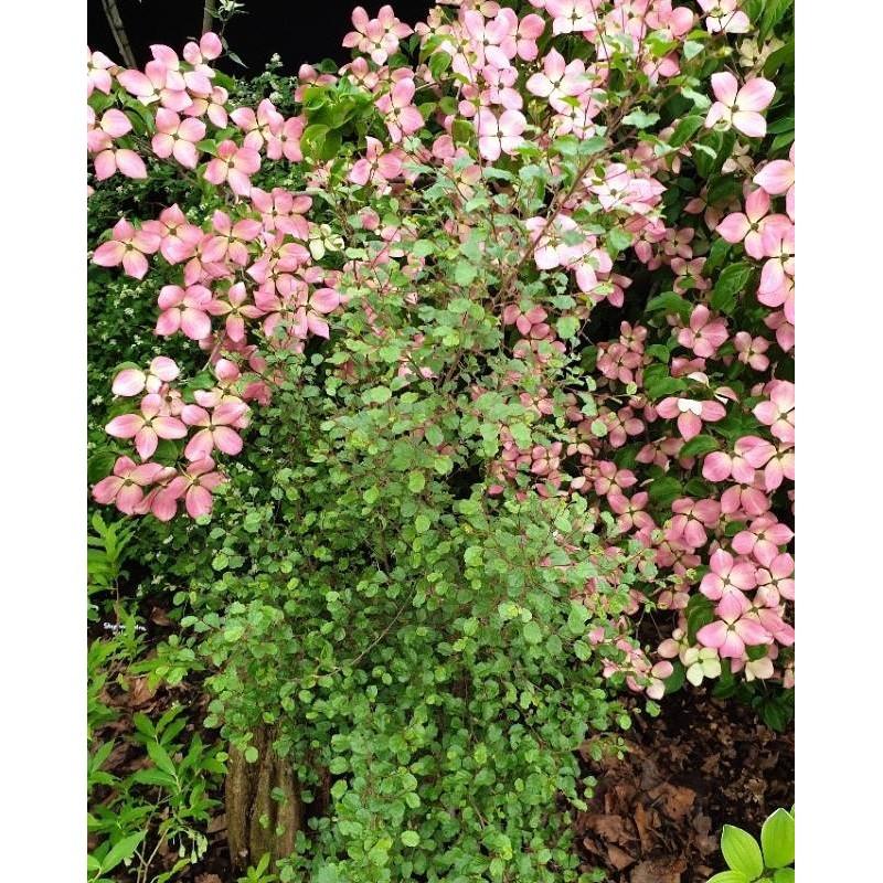 Carpinus orientalis 'Bas'