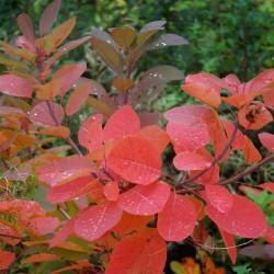 Cotinus 'Grace' - autumn colour