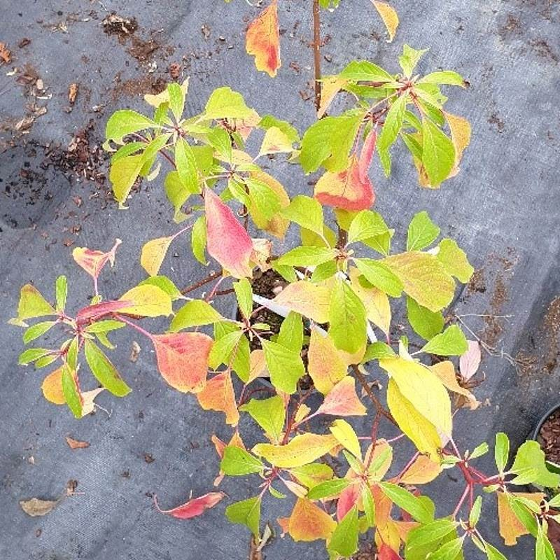 Cornus controversa 'Laska' - autumn colour starting in late September