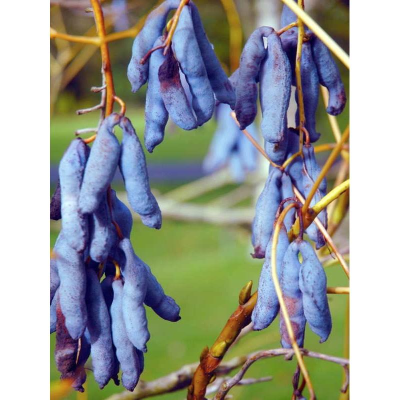 Decaisnea fargesii - blue fruit in autumn