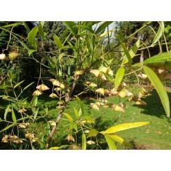Euonymus clivicola var rongchuensis