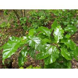 Magnolia acuminata 'Blue Opal'