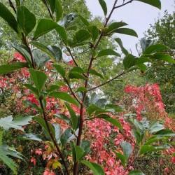 Magnolia 'Pegasus'