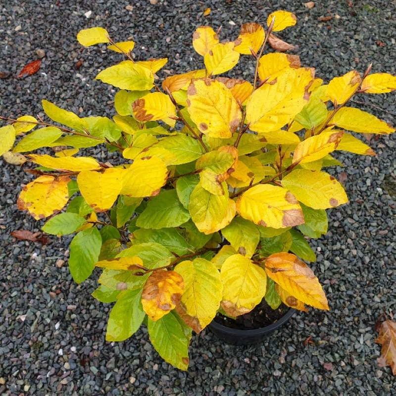 Fagus sylvatica 'Fruticosa' - autumn colour
