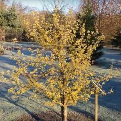 Cornus officinalis - winter flower display