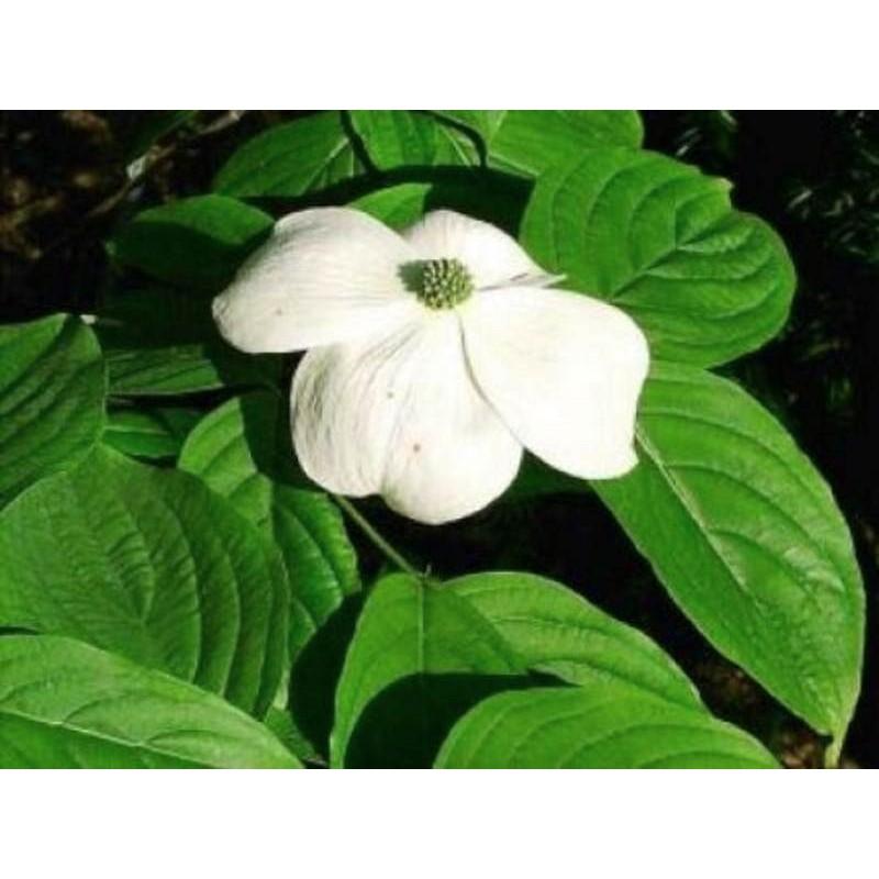 Cornus x rutgersensis 'Aurora' (Rutban) - summer flower bracts
