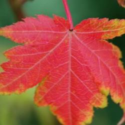 Acer micranthum - autumn colour