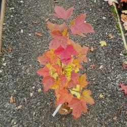 Liquidambar formosana 'Afterglow' - autumn colour