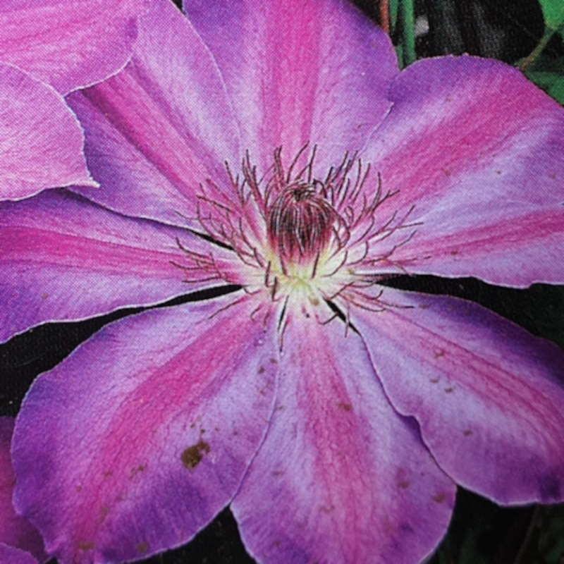 Clematis 'Baltyk' - summer flowers