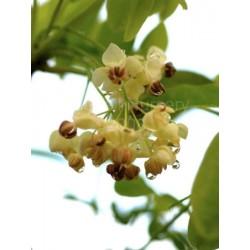 Akebia quinata 'Alba' - spring flowers