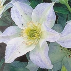 Clematis 'Yukikomachi' - summer flowers