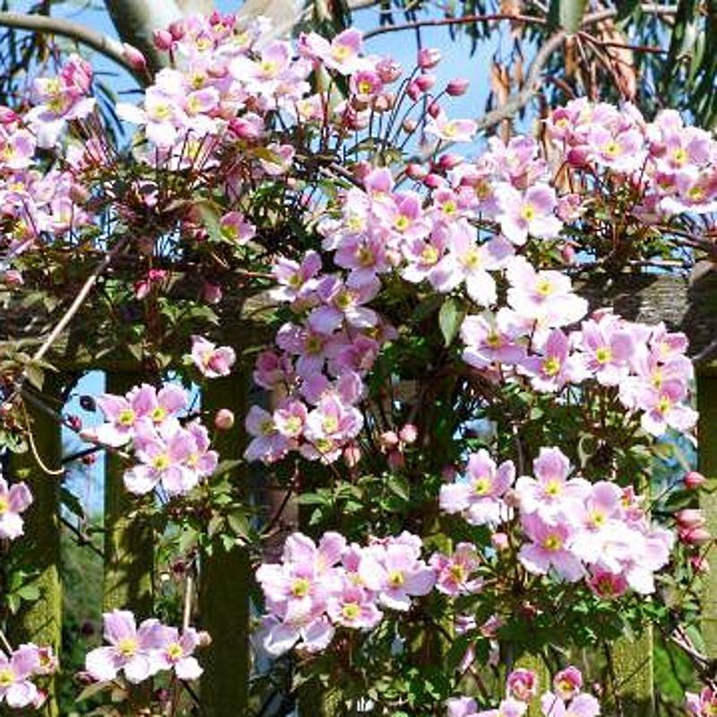Clematis montana 'Elizabeth' - spring flowers