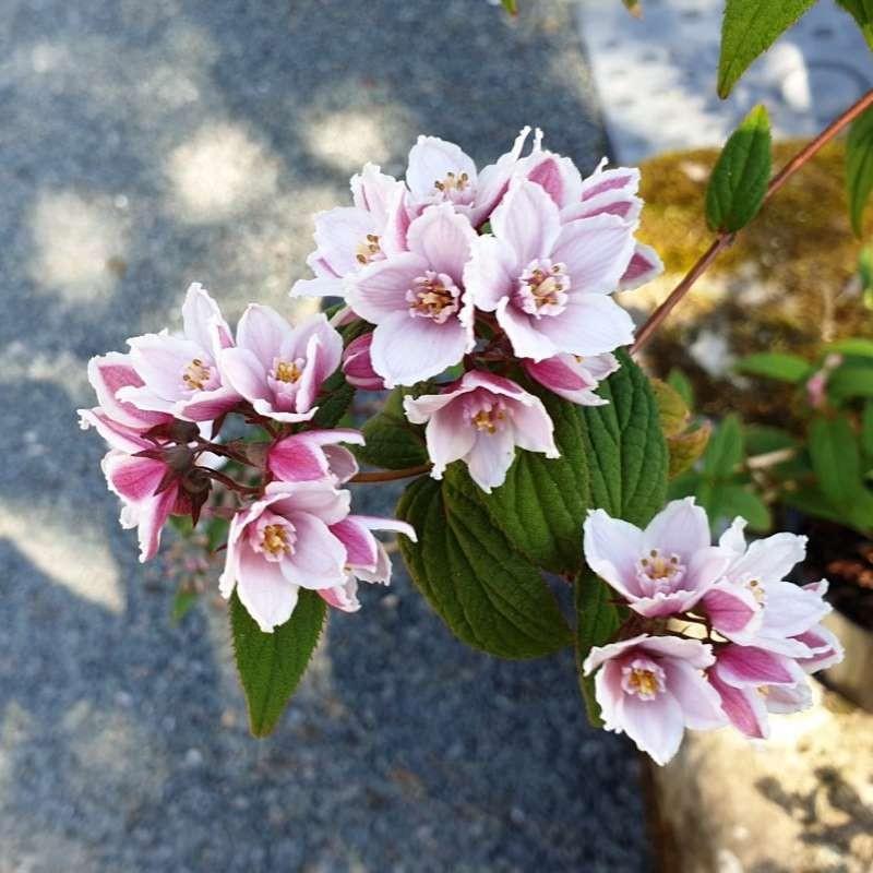 Deutzia calycosa 'Dali' - summer flowers