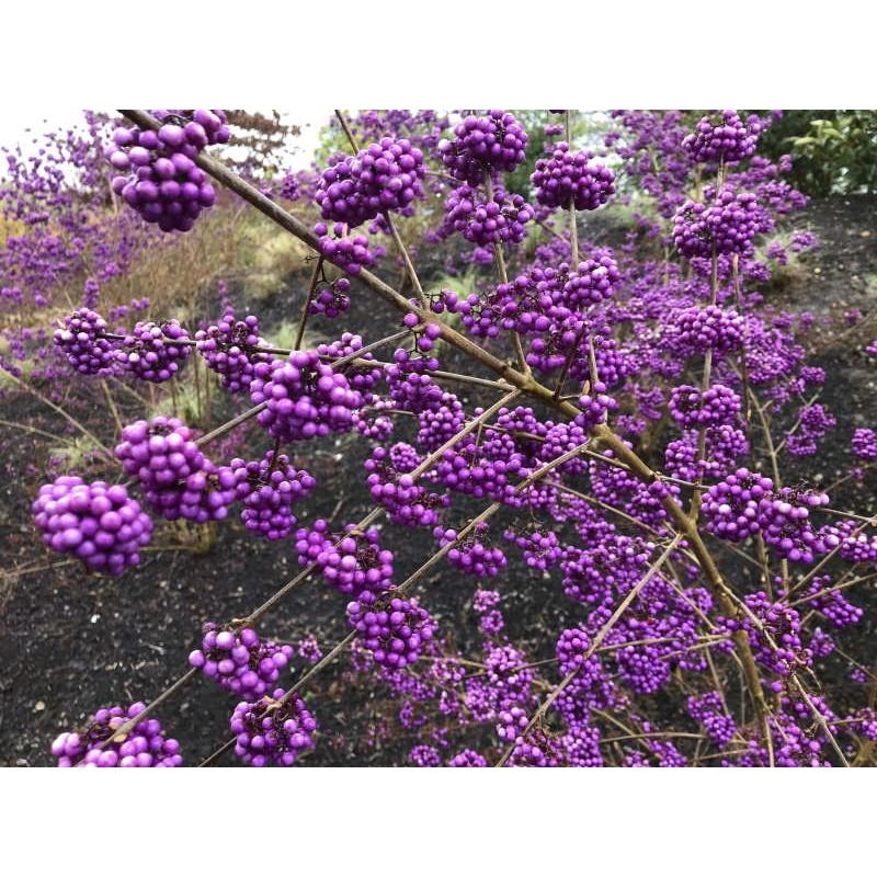 Callicarpa bodinieri 'Profusion' - autumn berries