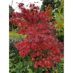 Acer palmatum 'Okagami' - autumn colour