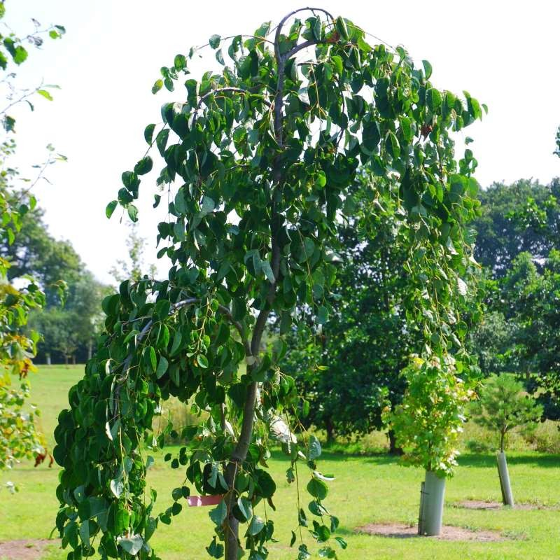 Cercidiphyllum japonicum 'Pendulum' - summer leaves