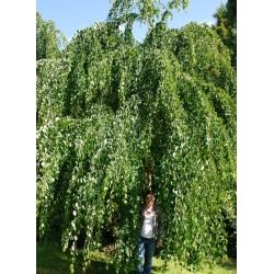 Cercidiphyllum japonicum 'Pendulum' - large, approx 40 - 50 year old tree