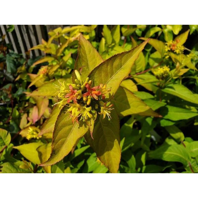 Diervilla rivularis 'Honeybee' - summer flowers