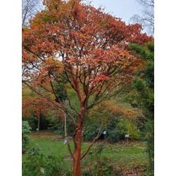 Acer griseum - autumn colour