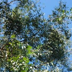 Eucalyptus gunnii - leaves