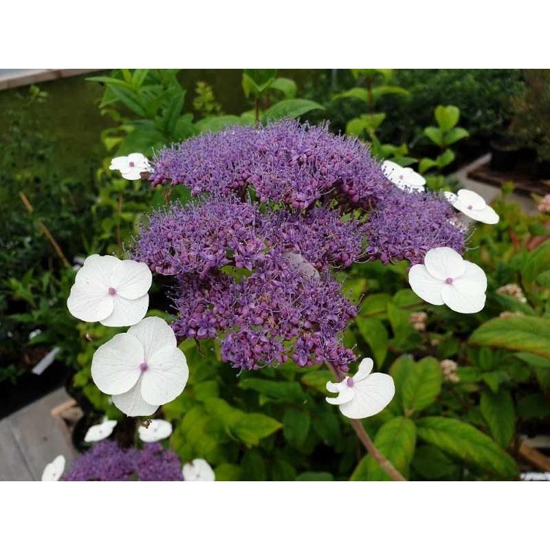 Hydrangea aspera 'Bellevue' - summer flowers