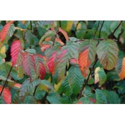 Carpinus caroliniana 'Sentinel Dries' - autumn colour