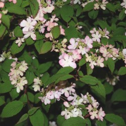 Viburnum plicatum 'Pink Beauty' - summer flowers