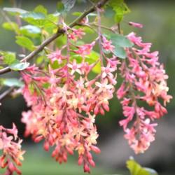 Ribes x gordonianum - summer flowers