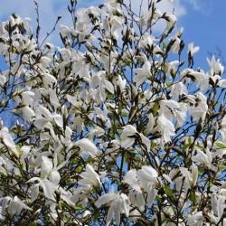 Magnolia x 'Wada's Memory' - spring flowers