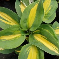 Hosta 'Thunderbolt' - summer leaves