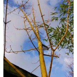Acer rufinerve 'Yellow Ribbon' - colourful winter bark