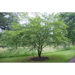 Carpinus turczaninovii - established plant