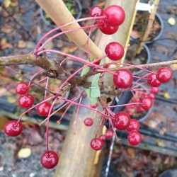 Malus brevipes 'Wedding Bouquet' - autumn fruit