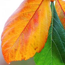 Crataegus x lavallei 'Carrieri' - autumn colour in late September