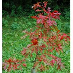 Quercus palustris - autumn colour