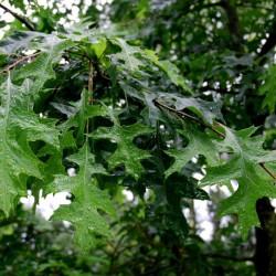 Quercus palustris - summer leaves