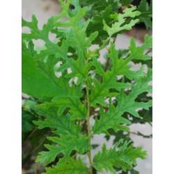 Quercus cerris 'Afyon Lace'
