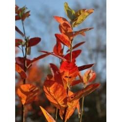 Amelanchier canadensis 'Rainbow Pillar' - autumn colour