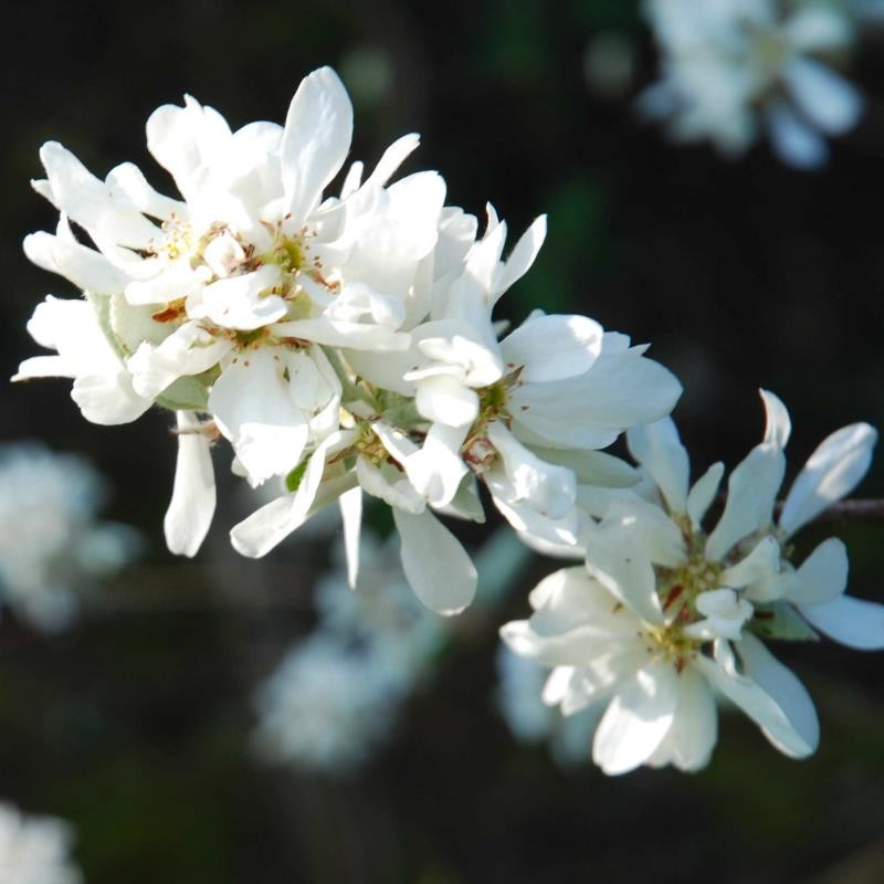 Amelanchier ovalis 'Edelweiss' - close up of flowers