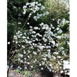 Amelanchier ovalis 'Edelweiss'