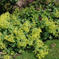 Alchemilla mollis - ground cover